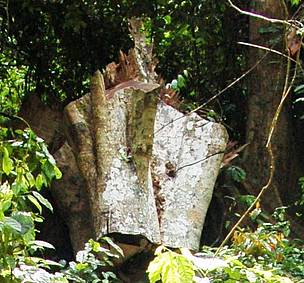 Pouteria aningeri locally known as 'Asamfena' which has been felled by chain-saw operators is valued at GHC 2,000. 