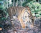 Sumatran tiger photographed by a camera trap in a remote part of the Sumatran jungle