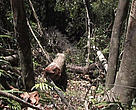 In the aftermath of a coup dtat in March 2009, Madagascar's rainforests have been pillaged for precious hardwoods such as rosewood and ebony. 