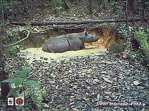 Sumatran rhino, video trap, east kalimantan, kutai barat, heart of borneo, hob, wwf indonesia