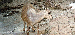 A young Arabian Tahr photographed by a camera trap, United Arab Emirates. / ©: EWS-WWF