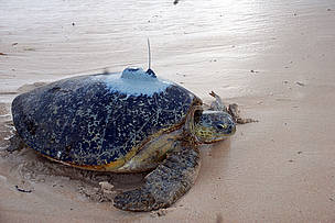 Turtle Frances makes her way to the Indian Ocean with a satellite tag attached to her back on ... / &copy;: WWF-EARPO / Kimunya Mugo	