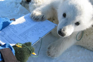 Polar bear cub paws at the clipboard of Norwegian Polar Institute researcher.