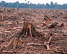 Illegal logging for paper industry and forest clearing for Palm oil plantation, Sumatra, Indonesia.