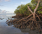 Mangroves the best carbon sink