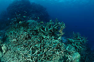 Coral reef destroyed by Crown of Thorn starfish or by coral bleeching.  Great Barrier Reef & ... / ©: WWF-Canon / Jürgen FREUND