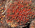 Oil palm is an important raw material for a variety of foodstuffs, cosmetics and detergents. In the year 2000 25.5 million tonnes of Palm oil were produced throughout the world, and demand is continuing to rise. It is estimated that over the next 25 years 250-300 million hectares of tropical forest are likely to be cleared for agricultural development, mostly for oil palm.