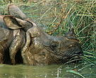 More than 500 greater one-horned rhinos live in the Chitwan Royal National Park, Nepal.