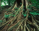 Ficus sp. Strangler fig tree in the Congo Basin rain forest, Cameroon.