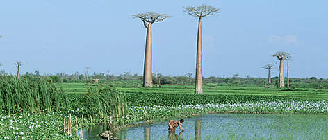 Baobab trees, Adansonia grandidieri, in rice paddy fields enchroached by Water hyacinths. ... rel=