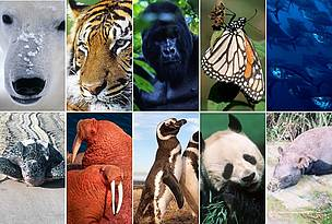 10 species to watch in 2010 / &copy;: Clockwise (left to right): Fritz Plking / WWF; David Lawson / WWF-UK; Martin Harvey / WWF-Canon; Fritz Plking / WWF; Brian J. Skerry / National Geographic Stock / WWF; WWF Greater Mekong; Martin Harvey / WWF-Canon; Michel Gunther / WWF-Canon; Kevin Schafer / WWF-Canon; Ronald Petocz / WWF-Canon