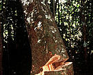 Mahogany tree being felled. Amazonas, Brazil.