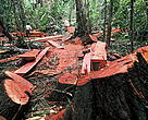 Good news: Bauhaus commits to exclude illegal wood from their products. Pictures like this - showing illegal logging activities in the Peruvian lowland rainforests - should become rare.