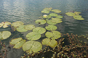 Water lilies on the Kafue river. Floodplains of the Kafue Flats, Zambia. / ©: WWF-Canon / Martin HARVEY