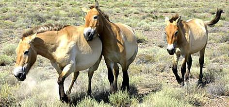 Przewalski's horse or Takhi, (<i>Equus ferus przewalski</i>)  / ©: WWF-Canon / Hartmut JUNGIUS