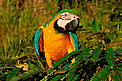 Blue and yellow macaw, Amazonas, Brazil. / &copy;: WWF / Zig KOCH
