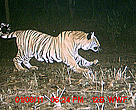 A tiger is captured on camera in northern India's State of Uttarakhand. The WWF India wildlife monitoring project found a high density of endangered tigers living in the Kosi River corridor, a strip of forested land that forms part the of the Terai Arc Landscape.
