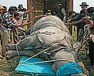 Success! A tranquillized rhino being loaded into a crate