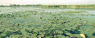 Water lilies in the delta of the Danube river, Danube Delta National Park, Romania.