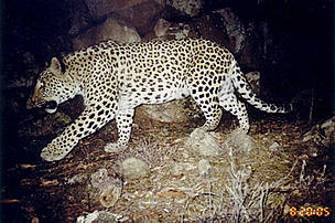 Caucasian leopard