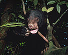 Sun bear (<i>Helarctos malayanus</i>), one of Borneo's threatened species.