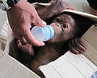 A hungry Baim takes to the bottle. 