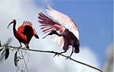 Scarlet ibis and Roseate spoonbill in wetlands. Brazil. / &copy;: WWF-Canon / Roger LeGUEN