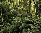 A temperate rainforest in Tasmania, Australia.