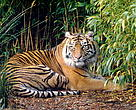 The Sumatran tiger is one of many species living in Indonesia's recently established protected areas.