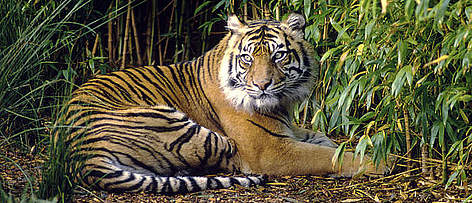 The Sumatran tiger is one of many species living in Indonesia's recently established protected ... rel=