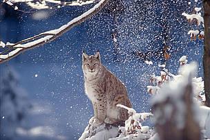 Подкрепете усилията ни за спасяване на четирите застрашени вида!  / ©: WWF-Canon/Roger LeGUEN
