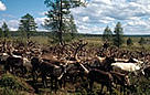 Rangifer tarandus Reindeer herd in taiga forest WWF-Sakha-Charuoda National Park Sakha Republic, ... / &copy;: WWF-Canon / Hartmut JUNGIUS