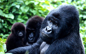The total population of the mountain gorilla subspecies is about 700 individuals, split almost ... / &copy;: WWF-Canon / Martin HARVEY