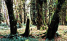 Olympic National Park - View of temperate rainforest Washington, United States of America.  / &copy;: WWF-Canon / Fritz POLKING
