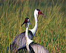 The wattled crane (&lt;i&gt;Bugeranus carunculatus&lt;/i&gt;) inhabits open grasslands and wetlands.