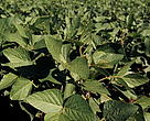 Soybeans (Glycine soja) plantation Paran, Brazil.
