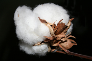 Cotton on the trunk. / &copy;: Stephanie Berghaeuser