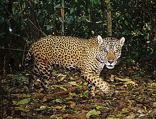 Jaguar  / ©: BRIT / WWF-AREAS_Amazonia