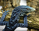 Monitor lizard (Varanus macraei), Papua New Guinea. The most striking new reptiles identified in New Guinea in the last decade are the three new monitor lizards discovered on tiny islands off the Vogelkop (Birds Head) Peninsula of Papua in Indonesia. Varanus macraei, found on the island of Batanta and described in 2001, is one of the most spectacular reptile discoveries anywhere. Capable of reaching a metre in length, this beautiful species is black with a mesmerising pattern of turquoise and blue.
