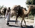 Camels transport cotton in Faisalabad, Pakistan. Sustainable cotton, produced using less water and pesticides is now expected to reach global markets next year.