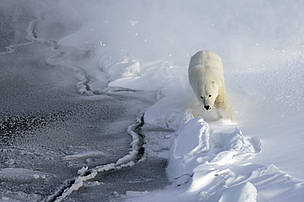Polar bear running on the sea ice. Svalbard, Norway.