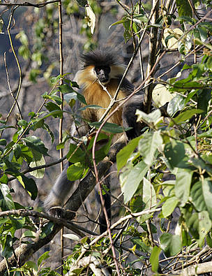 Capped Langur / ©: WWF Bhutan
