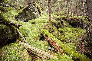 Virgin or old growth forests are untouched by humans, the last places where nature survives in its pure state.