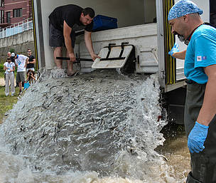 WWF released more than 20,000 Russian Sturgeons into the Danube
