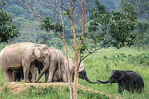 Wild Asian elephants in Kuiburi National Park, Thailand.