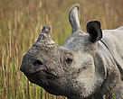 One-horned rhino.