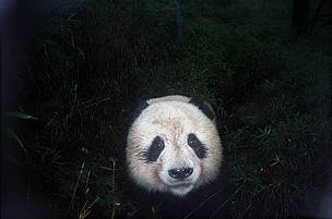 A curious panda is snapped by an infrared camera trap. / &copy;: WWF