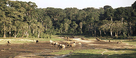 Herd of African forest elephants eating mineral-rich mud in the Dzanga-Sangha Special Reserve, ... rel=
