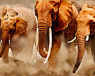 A herd of elephants on the move in Amboseli National Park, Kenya. The female in the