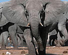 African elephants (<I>Loxodonta africana</I>) often come into conflict with humans and trample farmers' fields.